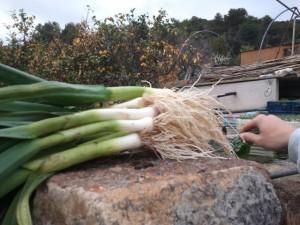 recolección de ajos tiernos