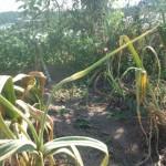 técnica del cultivo de ajos en nuestro huerto tradicional