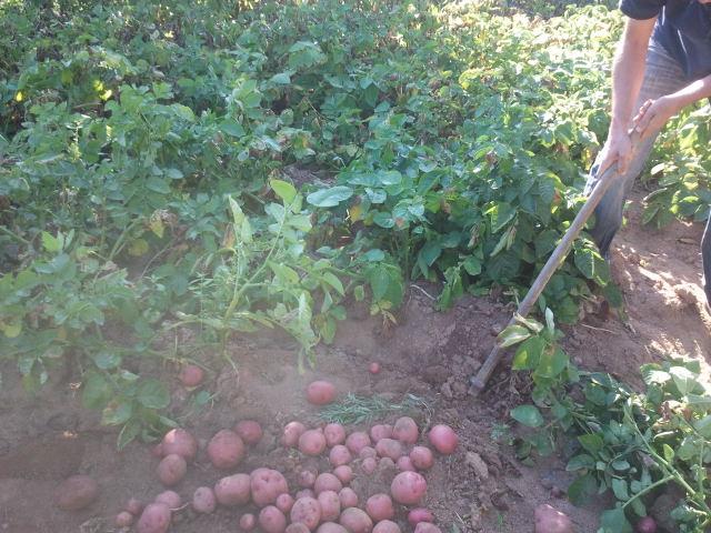 cosechando patatas en el huerto de ajetes.com