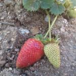 fresas cultivo