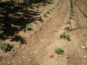 plantar fresas